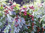 20 RED CHINESE DATE TREE Edible Fruit Jujube Ziziphus Jujuba Yellow Flower Seeds
