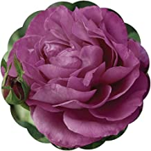 Stargazer Perennials Heirloom Rose Plant - Reblooming Purple Fragrant Flowers - Own Root Potted Easy To Grow