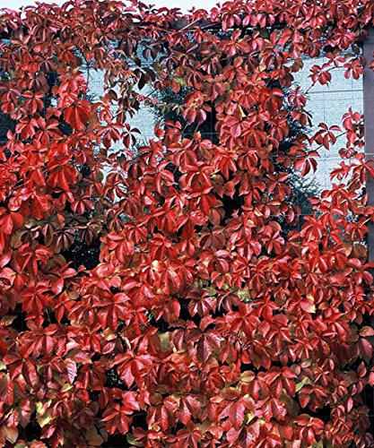 """Red Wall Virginia Creeper - Parthenocissus - Proven Winners - 4"""" Pot"""