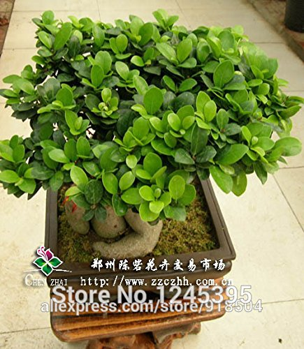 2016 Rare authentique 50 pcs Graines de Ficus ginseng ginseng herbes Graines Banyan Tree Seeds Shown In desc bleu