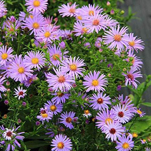XINDUO Mehrjährig Blumen,Einfach blühende Pflanze Holland Chrysanthemum Samen-Pink_0.5kg,Blüten Saatgut mehrjährig