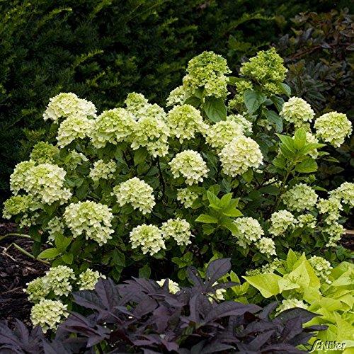 Rispenhortensie Little Lime limonengrün-rosa - Hortensie winterhart & mehrjährig - Hydrangea paniculata - 1 Pflanze von Garten Schlüter - Pflanzen in Top Qualität