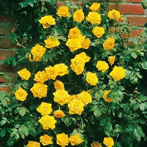 Keland Garten - 100pcs Raritäten Kletterrose Kletterpflanzen reichblühend edelrosenähnlich, Öfterblühend frosthart Blumensamen Mischung winterhart mehrjährig für den Garten und Balkon