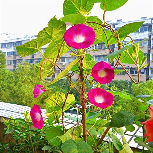 Eastbride Blumensamen für Garten Balkon,Winde Samen, Trompete Blume Kletterpflanze gemischte Farbe Topf blühende Samen-10g,Lange Blütezeit winterhart