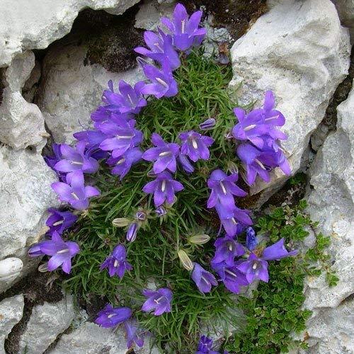 Büschelglocke, Becherglocke Edraianthus 30 Samen - Staude, bodendecker