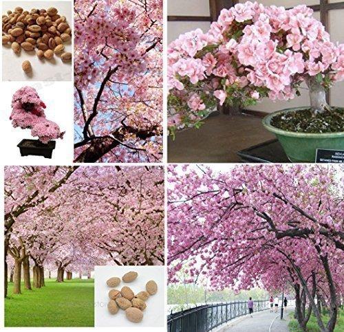 5X géant japonaise rose fleurs de cerisier sakura ARBRE graines frais Jardin PLANT ARBRE / Bonsai plantes d'intérieur extérieur Plant #400