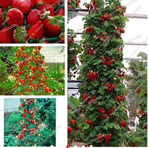 800 Graines Pcs Strawberry New Red Giant Climbing Graines Strawberry Fruit Plante Pour jardin plantation Vente chaude