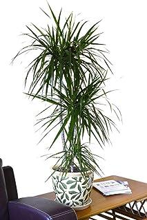 Planta de interior - Planta para la casa o la oficina - Dracaena marginata - Árbol del dragón de Madagascar - Aprox. 80cm de alto