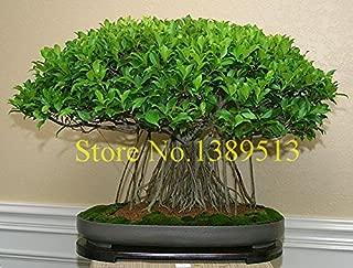 10 china banya tree bonsai seeds Ficus Microcarpa Tree Seeds Sementes Bonsai Ginseng Banyan Garden Tree Outdoor Planters