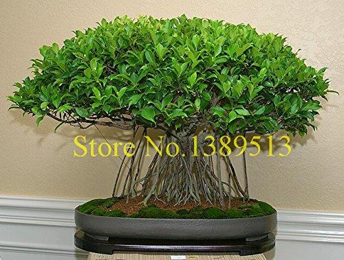 10 Cina semi di albero Banya bonsai Ficus Microcarpa Albero Semi Sementes Bonsai Ginseng Banyan Garden albero all'aperto Fioriere