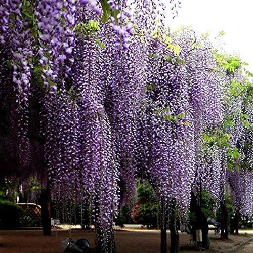 AIMADO Samen-20 Stück Afrikanischer Blauregen Samen Exotische bio blumensamen winterhart mehrjährige Pflanze ideal für Bonsai, Garten, Balkon & Terrasse