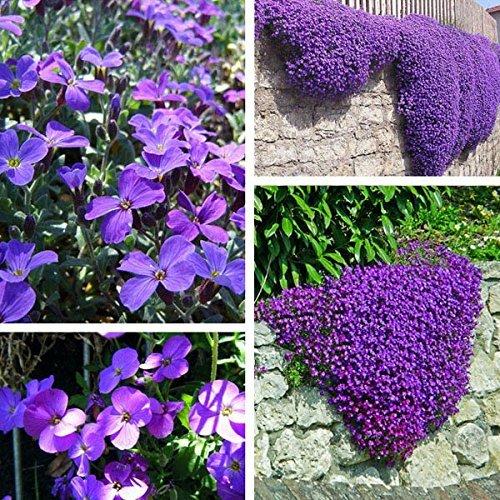 100 pcs Purple Flower Aubrieta Hybrida Seeds Jardin vivaces pour couvrir sol Plante