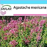 SAFLAX - Set regalo - Toronjil morado - 50 semillas - Con caja regalo/envío, etiqueta para envío, tarjeta de felicitación y sustrato de cultivo y fertilizante - Agastache mexicana