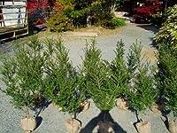 キンメツゲ 樹高80cm前後 10本セット 常緑 庭木 生垣 目隠し イヌツゲの園芸品種
