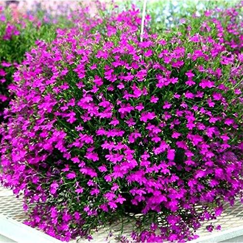 Beautytalk-Garten Schmetterling Blumensamen duft-Blüten Schmetterling Blumen Saatgut winterhart mehrjährig Blumen bienenfreundliche für Terrasse/Balkon/Garten (10pcs, Rose rot)