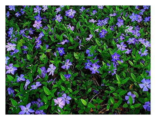 50 x Vinca minor (Blau) Kleines Immergrün (Bodendecker) ab 1,19 € pro Stück