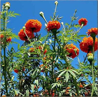 Vente chaude 11 types Maidenhair semences Jardin d'herbes aromatiques Pot Marigold Graines de fleurs en pot Chrysanthemum Graines 100PCS 8