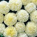 Burpee Snowball Marigold Seeds 50 Seeds