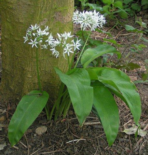 Asklepios-seeds® - 100 Semillas de Allium ursinum Ajo de oso