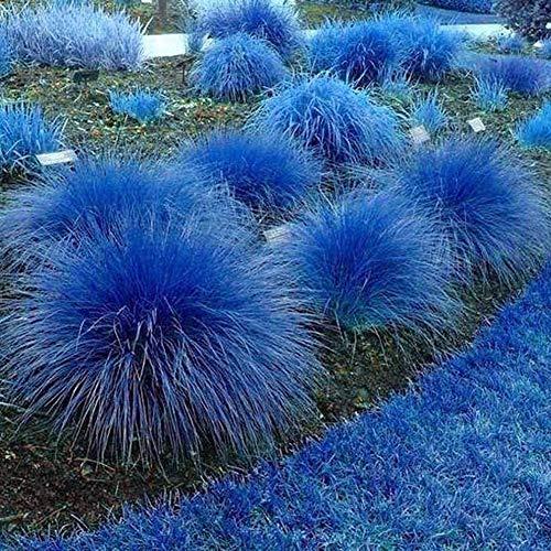 1000Pcs Blue Lemongrass Seeds Cymbopogon Flexuosus Planta Jardín Balcón Decoración Semillas de limoncillo