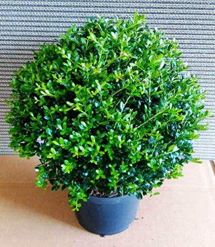 2 Stück Ilex crenata Stokes, Kugel, Durchmesser: 30-35 cm, Alternative Buchsbaum + Dünger