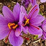 ypypiaol Semillas de flores de azafrán bulbos de azafrán Sativus Plantas de cultivo fácil para el cultivo en el jardín de su casa, 8 bombillas