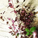 Planterest - Ludwigia Repens Super Red Mini Leaves Live Aquarium Plant Stems BUY2GET1FREE