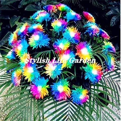 200 stuks/zak Rainbow madeliefje flores, chrysant plantas, bonsai bloem plante, mooie potplanten voor huis tuindecoratie: 2