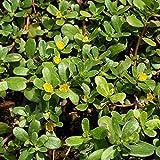 Porcellana o Erba grassa (Portulaca oleracea) (Semente)