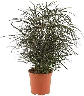 AMERICAN PLANT EXCHANGE Aralia Elegantissima Mary Jane Live Plant, 6