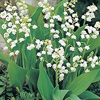 SOPHISTICATE Organic Seeds: 25 Giant Lily of The Valley Convallaria Majalis Bordeaux-Bare Root Plants/Pips