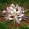 白いリコリス球根耐干性強い根希少種イージーケア植物盆栽高品質香りのよい,20球根