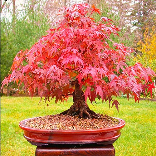 ZLKING 50 Pcs Perennial Japan Maple trees Longevity Acer palmatum Trees Bonsai Plant Outdoor Easy To Raise Feed beautiful