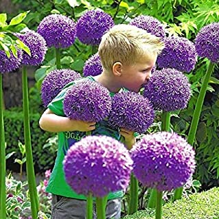 Cicitar Garden - Rare Purple Giant Allium, Ornamental Onion Allium giganteum Seeds, Star-Shaped Flowers, Hardy Perennial Flower Seeds