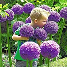 5 Allium Gladiator Bulbs - Ready to Plant - Blooming Onion - Live Indoor/Outdoor Perennial Plant