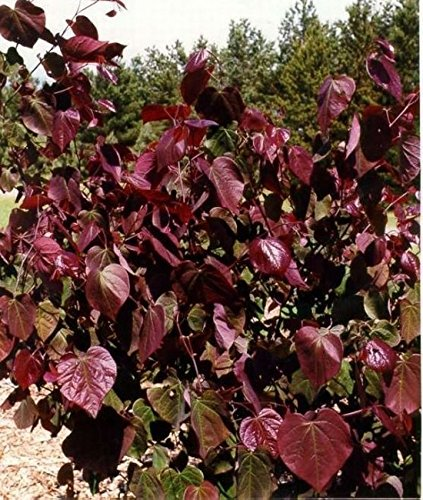 Cercis canadensis Forest Pansy - Roter Judasbaum