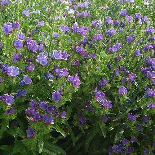 XINDUO Mehrjährig Blumen,Outdoor Rasen Blaue Distel Blumensamen-500 Kapseln,Blüten Saatgut mehrjährig
