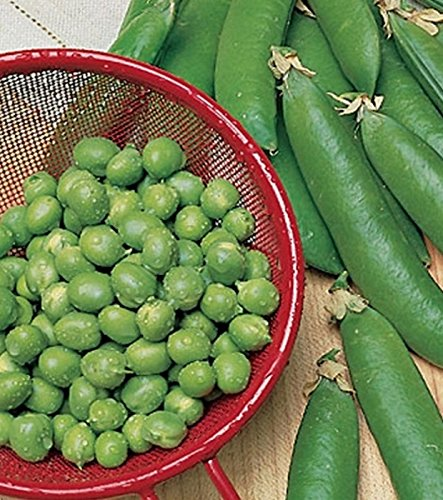 Erbsen Markerbse Maxigolt 125 g Züchtersaat Samen