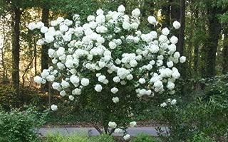viburnum snowball tree