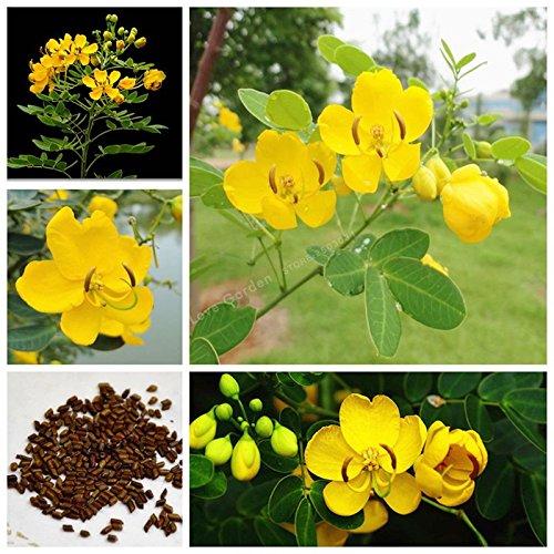 20 Pcs / Sac Herb Cassia Graines Catsia Tora Linn Chinese Herb Bonsai Graines de fleurs bricolage jardin facile à cultiver