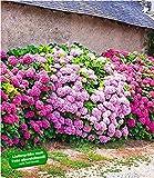 Liefergröße: 1,5 Liter Containertopf, ca. 20-25 cm hoch In Reihe gepflanzt bilden Freiland-Hortensien (Gartenhortensien) schnell eine dichte Hecke, die von Juni bis Spätsommer durchgehend ihre Blütenpracht zur Schau stellt! Das macht sie so attraktiv...