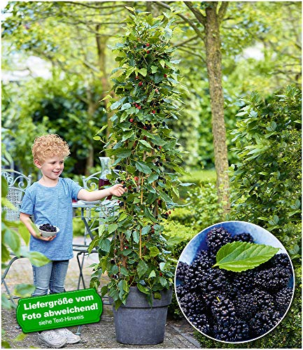 """BALDUR-Garten Maulbeere""""BonBon Berry®"""",1 Pflanze"""