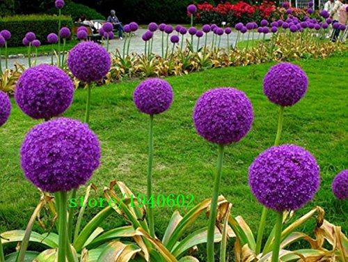 50pcs / graines sac de plantes aromatiques de Allium Ciboulette semences potagères, graines d'oignon bonsaï plantes de jardin