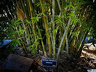 Seabreeze Bamboo 'Bambusa malingensis' - 1 Live 3 Gallon Plant - Privacy Screening Evergreen Clumping Bamboo