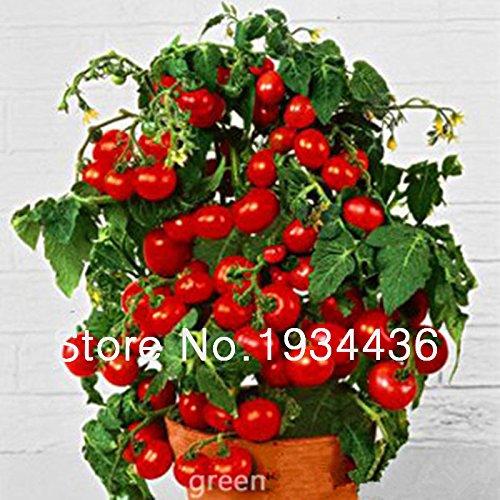 1bag = 50pcs géant japonais graines FRUIT de canne à sucre NO-OGM Saccharum graines bonsaï en pot plantes comestibles maison et jardinage