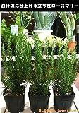 立ち性ローズマリー 苗3株 10.5センチ(3.5号苗 セット販売 ハーブ 若返りハーブ 良い香りでリラックス