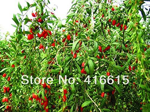 ZLKING 20 Pcs chinois goji Bonsai Graines Phytothérapie chinoise biologique Matrimony vigne semences Légumes Lycium Chinensis