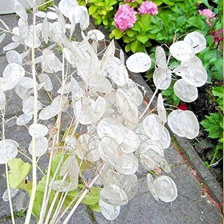 Seedville 100 LUNARIA Biennis semillas de flores planta de dinero//d/ólar de plata//Honestidad // moonwort
