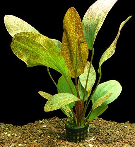 Zoomeister - 1 Topf Schwertpflanze 'Ozelot rot' (Echinodorus ozelot red)