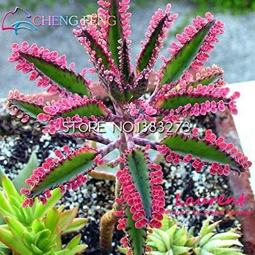 Shopmeeko 10 stücke Bonsai Albizia Julibrissin pflanze Akazie Baum pflanze Blume pflanze Staude Indoor Topfpflanze Für Gartendekoration